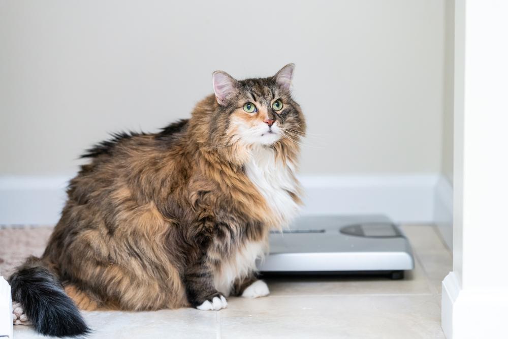 Understanding & Treating Obesity in Your Pet